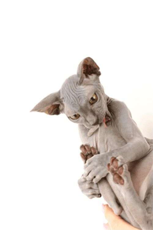 Bacchus the hairless cat