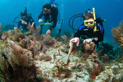 Divers check on corals transplanted from a nursery to the Florida Reef Tract.