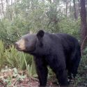 Seven Bears Killed After Mauling