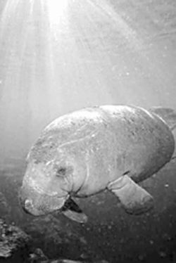 The county has big plans for this poor manatee.