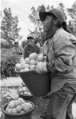 Tomato workers usually get 40 cents for each bucket picked