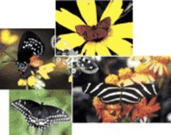 Clockwise from top left are four butterflies found in South Florida: the atala hairstreak, the little metalmark, the zebra heliconian  (the state butterfly), and the black swallowtail