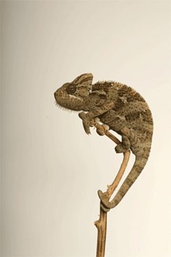 A panther chameleon, not as cute as the Geico gecko