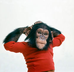 "Nim Chimpsky: An adorable ""child."""