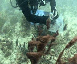 Reef Rescue members take samples of fast-growing algae, which can smother and kill coral.