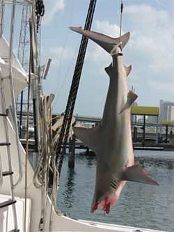 A sandbar shark hauled in by Quartiano's Striker-1 fishing yacht