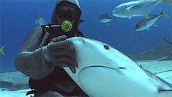 Cristina Zenato, a professional shark feeder/diver, poses with a reef shark near Grand Bahama Island.