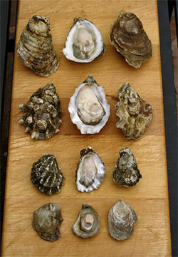 Virginica, Pacific, Kumamoto, and Olympia oysters all have their fans.