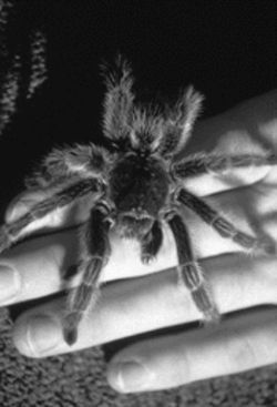 A fuzzy, ferocious-looking, but surprisingly tame tarantula